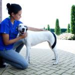 Реабилитация собак после переломов с помощью кинезиологического тейпа